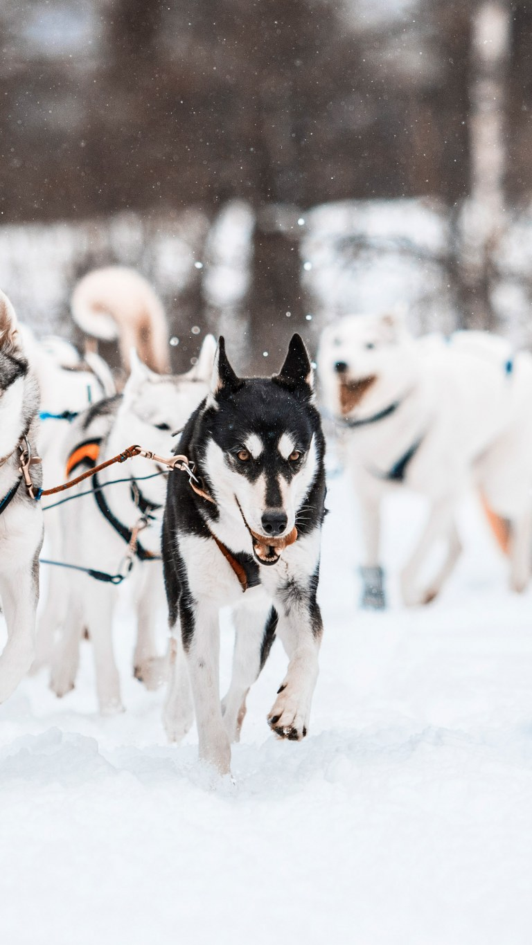Huskies running.